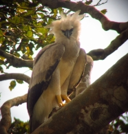 Harpy eagle chick looking at camera